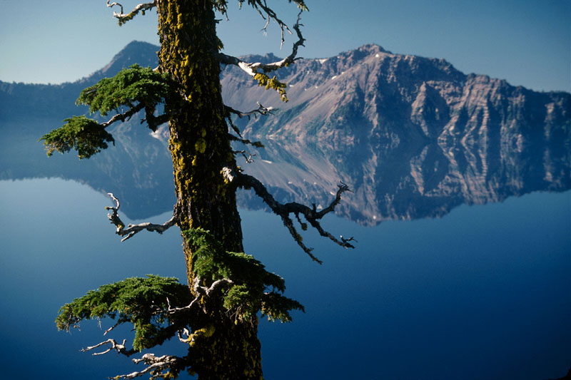 Tree/ Crater Lake, OR